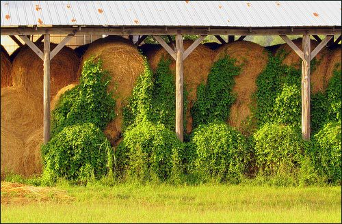 A herd of Kudzu seen sucking on bales of hay.