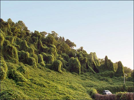 A herd of Kudzu seen foraging on a hillside.