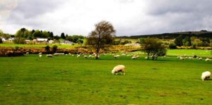 ireland-sheep-train-curved-sm-2