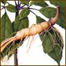 Ren shen (ginseng) strengthens multiple organ systems.